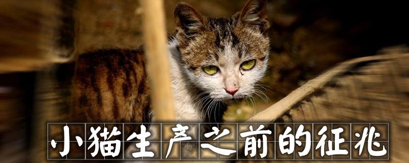小猫生产之前的征兆