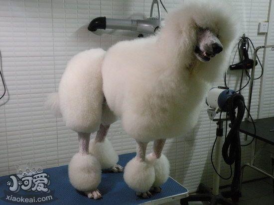 巨型贵宾犬怎么训练 巨型贵宾犬训练视频教程1