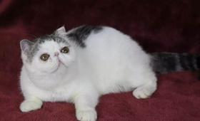 如何让加菲猫乖巧听话 加菲猫训练技巧视频