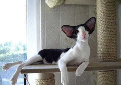 东方短毛猫