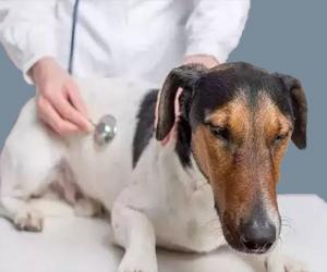 犬瘟热初期怎么治疗