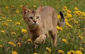 非洲狮子猫尿路感染怎么办 尿路感染治疗方法