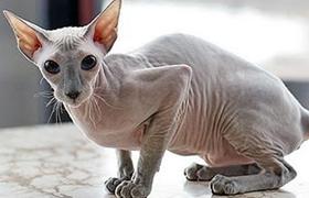 彼得秃猫营养性腹水怎么治疗 营养性腹水治疗方法
