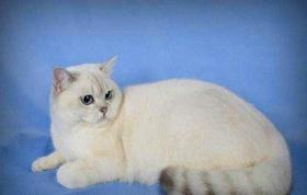 怎么预防重点色短毛猫尿道疾病 尿道疾病预防方法