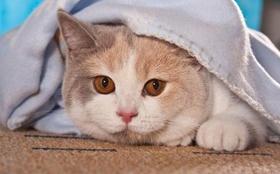 卡尔特猫多久驱虫一次 卡尔特猫驱虫时间