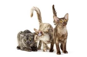 爪哇猫休克怎么急救 休克急救方法