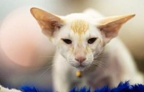 东方猫得了肺炎怎么治疗 肺炎治疗方法
