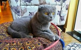 沙特尔猫感染泡翼线虫病有什么特征