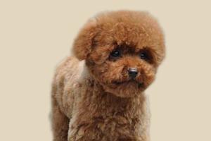 怎样教泰迪狗算算数