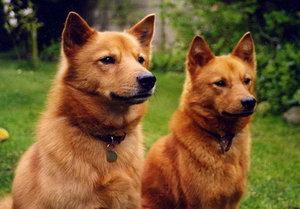 芬兰波美拉尼亚丝毛狗怎么美容 芬兰狐狸犬美容方法
