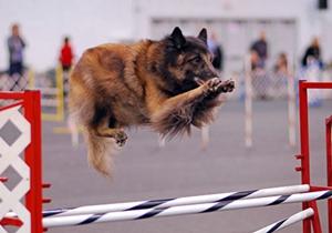 比利时特伏丹犬食物中毒怎么治疗 食物中毒治疗方法
