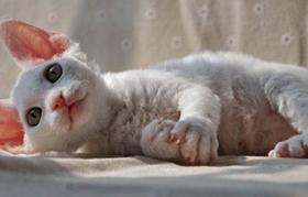 德文卷毛猫得了垂体肿瘤怎么办 垂体肿瘤治疗办法
