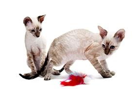 柯尼斯卷毛猫肝炎有什么症状 肝炎症状介绍