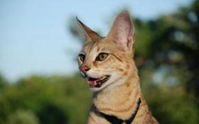 热带草原猫呕吐怎么回事 热带草原猫呕吐原因介绍