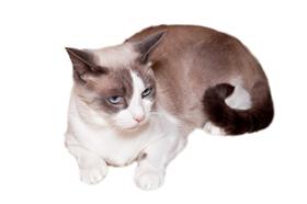 雪鞋猫发烧怎么办 雪鞋猫发烧退烧办法