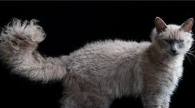 拉邦猫发烧怎么治疗 拉邦猫发烧治疗方法