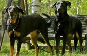 法国狼犬呕吐怎么办 法国狼犬呕吐不吃东西解决办法