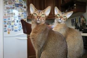 阿比西尼亚猫有血尿怎么回事 阿比西尼亚猫血尿原因