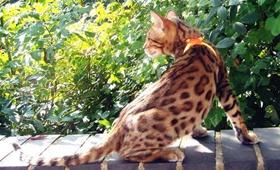 埃及猫身上有黑点怎么回事 猫咪身上有黑点解疑