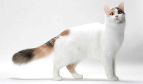 土耳其梵猫打喷嚏什么原因 土耳其梵猫打喷嚏原因