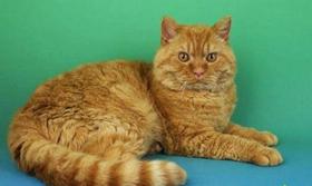 塞尔凯克卷毛猫得了猫癣如何治疗