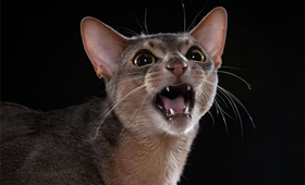 阿比西尼亚猫眼屎多怎么办 眼屎多解决办法
