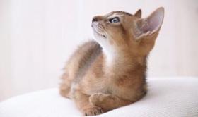 阿比西尼亚猫长虱子怎么办 阿比西尼亚猫长虱子解决办法