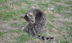 埃及猫吃什么驱虫药 埃及猫驱虫方法