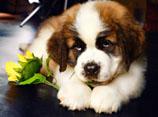 圣伯纳犬怎样训练 圣伯纳犬训练方法视频分享