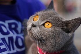 英国短毛猫打喷嚏是什么原因 英短打喷嚏解决方法