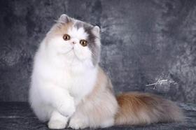 怎么防止加菲猫的毛球症 加菲猫毛球症解决办法