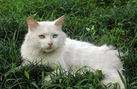 山东狮子猫有血尿是为什么 猫咪有血尿原因介绍