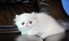波斯猫幼猫感冒怎么办 幼猫感冒注意事项