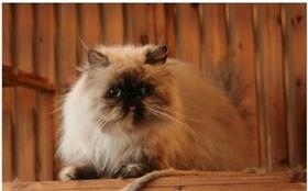 喜马拉雅猫咳嗽怎么办 猫咪咳嗽的诊断方法