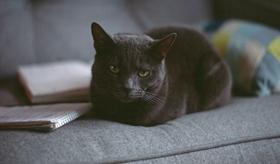 俄罗斯蓝猫便秘怎么办 蓝猫便秘病因简析