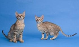 东方短毛猫如何防治猫弓形虫病