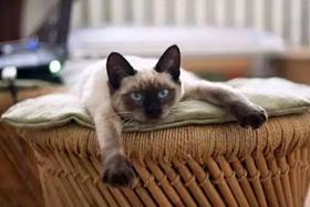 暹罗猫多久驱虫一次 暹罗猫驱虫手册