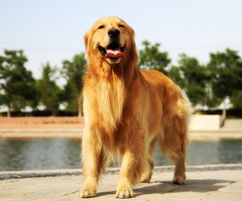 金毛寻回犬