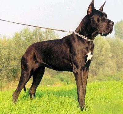 扭玻利顿犬