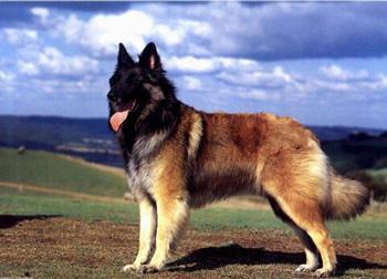 比利时特伏丹犬