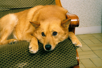 芬兰波美拉尼亚丝毛狗
