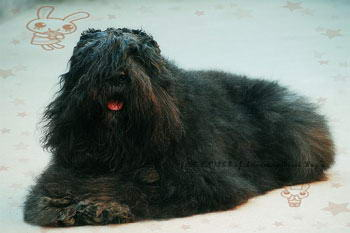波兰德斯布比野犬