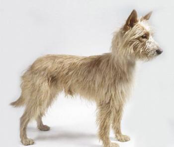葡萄牙波登可犬
