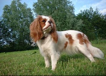 英国玩具猎鹬犬