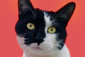 猫耳朵发热怎么回事