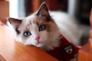 布偶猫发情怎么办