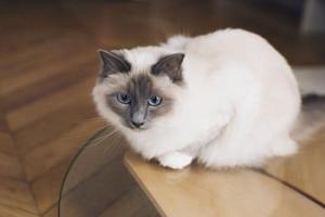 布偶猫为什么要绝育